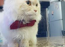 قط شيرازي جولد لونق هير