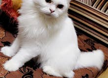 للبيع قط شيرازي خالص لون ابيض(انثى)