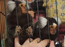 زوج قرد boket monkey