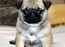Pure Breed PUG Male Puppy for Sale