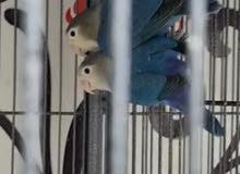 Blue fischer pair for sale