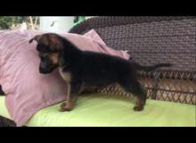 dog for sale German puppy girl