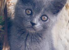 قطط سكوتش فولد و برتش فولد