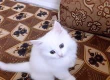 قطه شيرازي انثى عمر شهرين لعوب جدا جدا