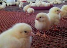 طيور وكتاكيت أبيض وبلدي و ساسو وكتاكيت فيومي وبط مولار ومسكوفي وديوك رومي برونزي