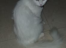 قطه أنجورا في موسم تزاوج