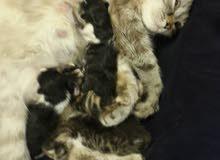 4 قطط للبيع