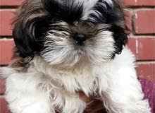 shihtzu puppy imported / تشيتزو مستورد