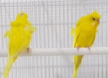 طيور حب هاجرمو لاتينو عين حمره ورتين