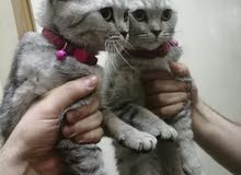 قطه أنثى برتش تابي للبيع