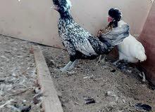 دجاج اناث لبولش الاسباني قريب الانتاج