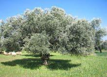 مزرعة مساحتها 14هكتار بالقره بوللي مقدس تبعد 500م من المعبد بها 350شجرة زيتون