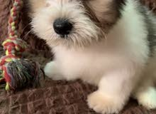 للبيع كلب شيتزو ذكر عمره شهرين