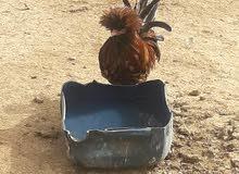 سيت دجاج بولوني للبيع
