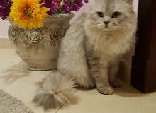 قط شيرازي .الدمام