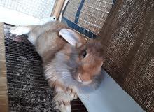 ارانب ...