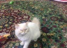 قط هملايا ذكر لعوب يقضي حاجته بلمكان المخصص ب175