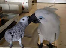 We are offering hand raised Parrots of all species