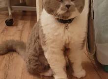 للتزاوج قطط ذكور بريتيش و سكوتش فولد للتواصل على 55170670