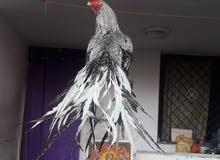 Parrot Beak Aseel Eggs For Sale !