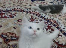 قطط شيرازية مون فيس عيون لونين تبزير بيت