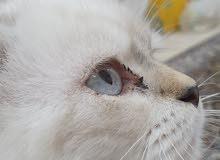 قطط شيراز ذكر وانثى. (شيرازي)