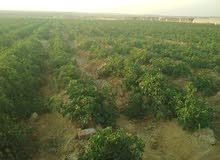 للبيع 45 فدان جاهزر للزراعه وتربه خصبه طريق العياط
