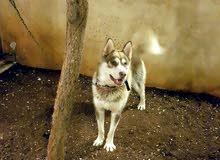 كلب هاسكي العمر سنة ذكر مميز