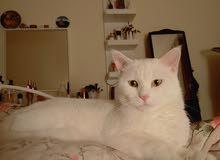 قطه شيرازيه للبيع أرجنت