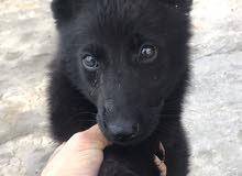 black royal still puppy super pure breed