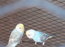 جوز طيور بادجي