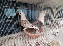 زوج حب رمان منتج مضمون grantee breeding pair