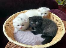 1 month old scottish fold kittens 1500 each