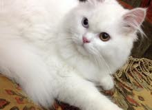 قط شيرازي أبيض للبيع