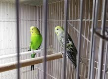 طيور الحب منتجة معه فروخهم 250 ريال واتساب