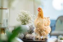 cochin chickens دجاج كوشن