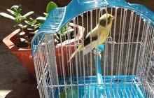 أنثى طائر الكناري  جاهزة