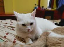 للبيع قطتان مكس شيرازي امريكي بصحه ممتازه و جواز سفر