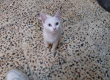 قطه شيرازي انثى