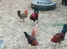 دجاج داري