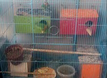 طيور غندوره