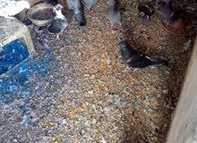 حمام بلدي للبدل ع دجاج