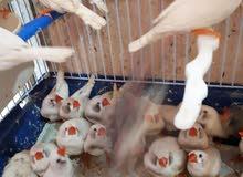مزرعة انتاج طيور الجنة طفرات البلاك شيك لون ابيض