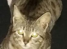 عرض قط الماو المصرى وكمان مدرب الرد على الوتس ومطعم وفيه قطط أصغر واكبر