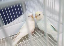 زوج طير حب ابيض