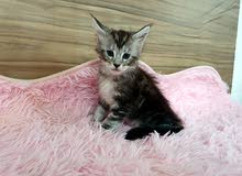 Maine coon kitten