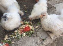 دجاج للبيع العدد3دجاحات وديج وفرخ زغير