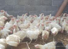 دجاج الابيض الهولندي البياض