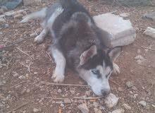 كلب هاسكي للبيع عمر سبع اشهر غير مدرب موصفات كشرى وتاج عيون زرق عضم عريض