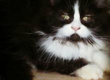 خصم خاص قطط هاف بكي توب ماشاء الله